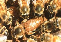 Queen bee life cycle