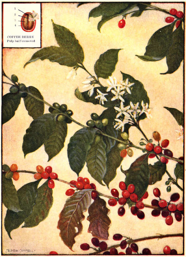 The project gutenberg ebook of all about coffee by william h ukers coffee branches flowers and fruit fandeluxe Gallery